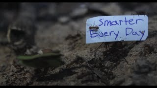 How to get Ants to carry a sign - Smarter Every Day 92