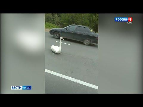 В Емве на дорогу приземлился лебедь