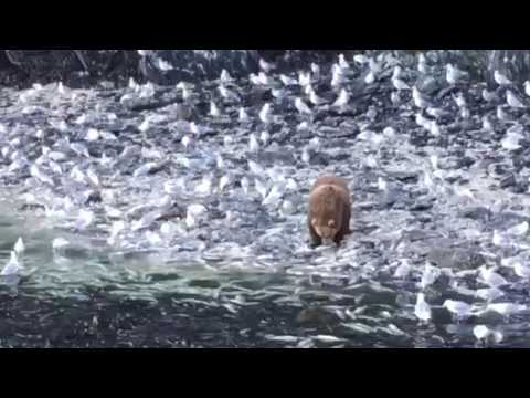Kodiak bear eating salmon