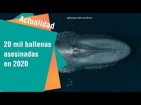 20 mil ballenas azules asesinadas en el 2020   Actualidad
