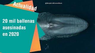 20 mil ballenas azules asesinadas en el 2020 | Actualidad