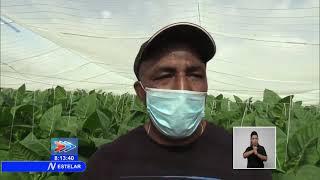 Siembran más de 36 mil hectáreas de viandas, hortalizas y granos en Cuba