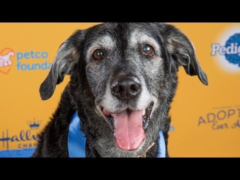 Elderly Pup Left at Kill Shelter Wins Gold at Dog Show