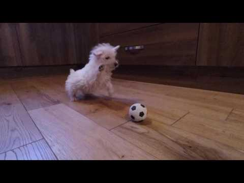 connectYoutube - Westie puppy meets ball