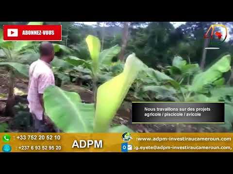 Buzz Cameroun: Comment lancer sa plantation de bananes plantains