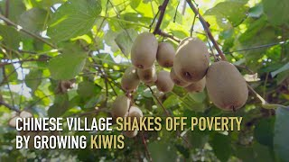 Chinese village shakes off poverty by growing kiwis