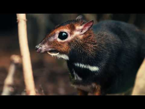 Rare Philippine mouse deer born in UK first at Chester Zoo