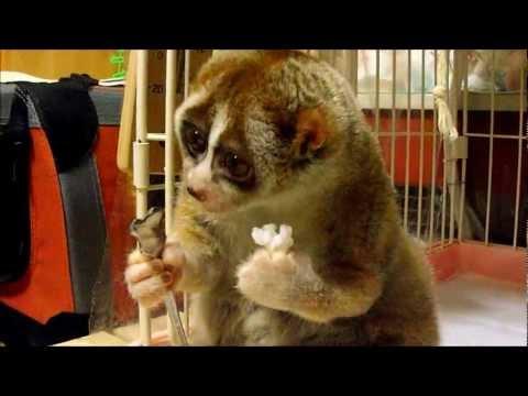 Lemur - głodomór