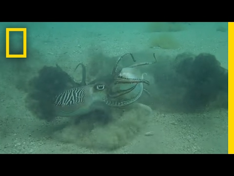 Ferocious Fight: Male Cuttlefish Battle Over Mate (Never Before Seen) | National Geographic