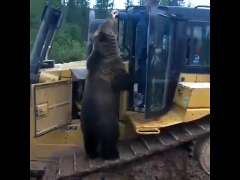 Любопытный медведь пришёл в гости и просит еду у рабочих