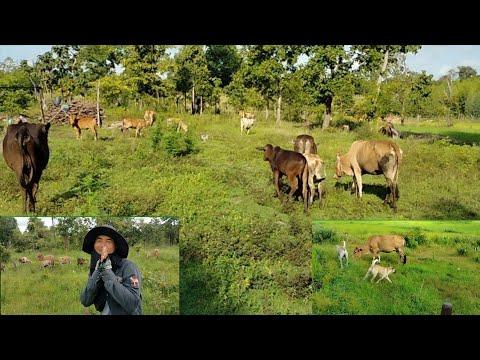 #เลี้ยงวัวอยู่ไฮ่อยู่นากับบ่าว