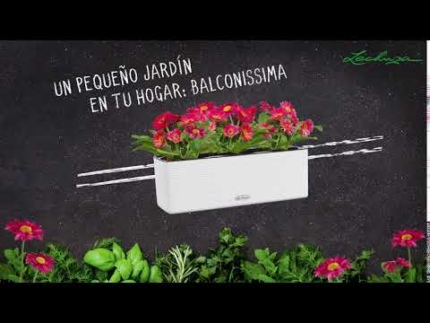 LECHUZA BALCONISSIMA - español