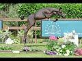 Show jumping horse Spectaculaire springer van Comme il Faut uit zus van Zeta de Hus, Bonito and Don't Touch (1m60)