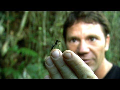 Oto największa mrówka na świecie!