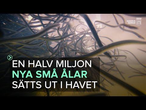Kungälv - En halv miljon ålar sätts ut i havet