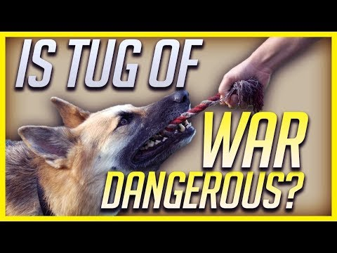 Should You Play Tug Of War With Your Dog Or Puppy?
