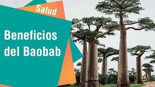 El árbol de la vida Baobab y sus múltiples beneficios