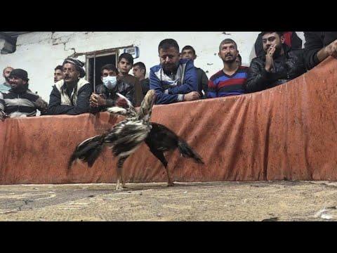 صراع الديكة ينتشر في مناطق الأكراد شمال سوريا