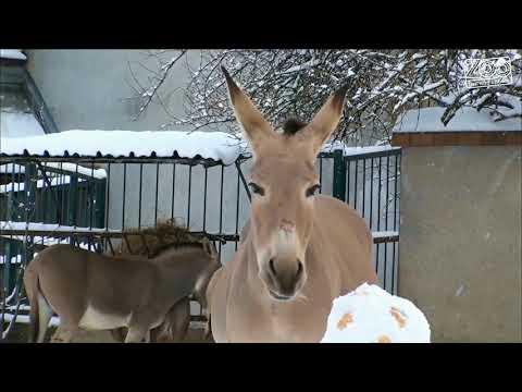 Enrichment: nazdobení sněhuláci u oslů somálských