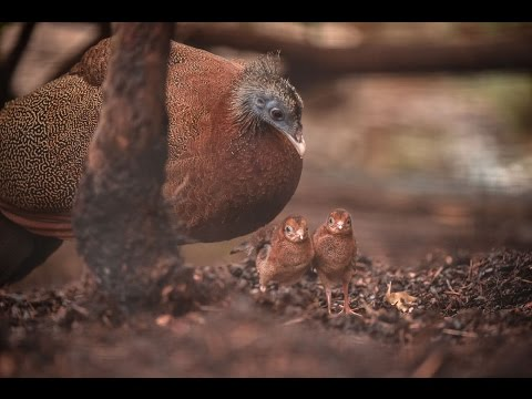 Meet the first great argus pheasant chicks to ever hatch at Chester Zoo