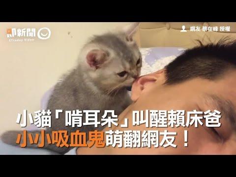 小貓「啃耳朵」叫醒賴床貓爸 小小吸血鬼萌翻網友!| 寵物