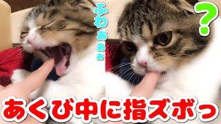 子猫 あくび『あくびした瞬間に指ズボされた子猫【スコティッシュフォールド】【Scottish Fold】』などなど