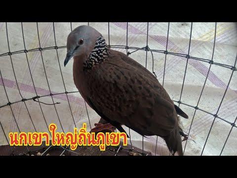 นกเขาใหญ่ถิ่นภูเขานกต่อป่าสูง(