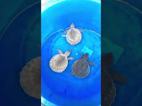เต่าหมูบิน(Fly-river-turtle)