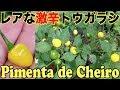 夏の自由研究 ブラジルの激辛トウガラシを育てて食う Pimenta de Cheiro