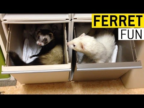 Ferret Fun || JukinVideo