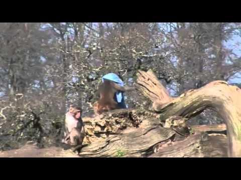 Video: Duok beždžionei - beždžionė paims