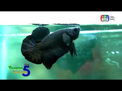EP65-ไฮไลท์-ปลากัด-และ-สกู๊ปมู