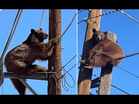 Oso se subió a poste de cableado eléctrico en Arizona