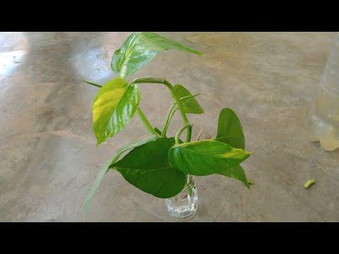 ปลูกพลูด่างในขวดพลาสติก-วิธีเล