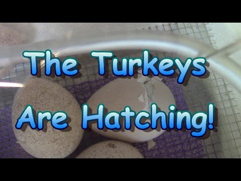 The Turkeys Are Hatching!