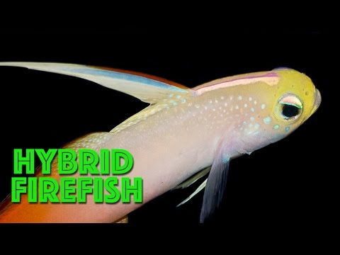 Hybrid Firefish, Ancient Corals & Alkalinity Monitors on the Reef Builders Recap