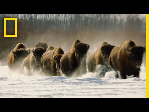 Wolves vs. Bison: On Location | Hostile Planet
