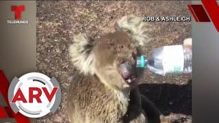 Animales que escaparon del fuego son sacrificados en Australia   Al Rojo Vivo   Telemundo