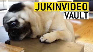 Funny Pugs Compilation from the JukinVideo Vault