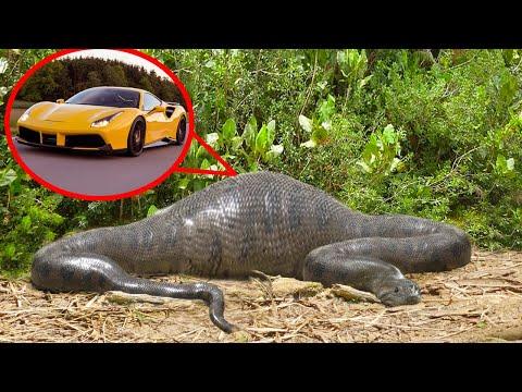 10 Самых Странных Вещей, Найденных Внутри Гигантских Змей