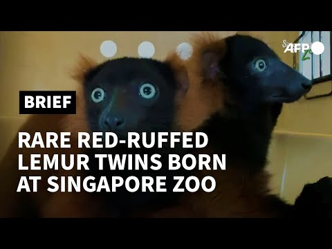 Rare red-ruffed lemur twins born at Singapore zoo | AFP