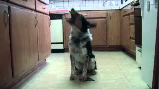 Собака каскадер