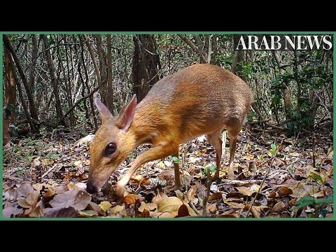 Rare deer-like species rediscovered after nearly 30 years