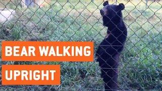Bear Walks Standing Upright | Hello Humans