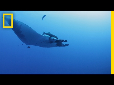 How Do You Get a Camera to Stick to a Manta Ray? Peanut Butter | National Geographic
