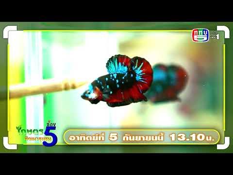 PROMOTE-EP65-เลี้ยงปลากัดสร้าง