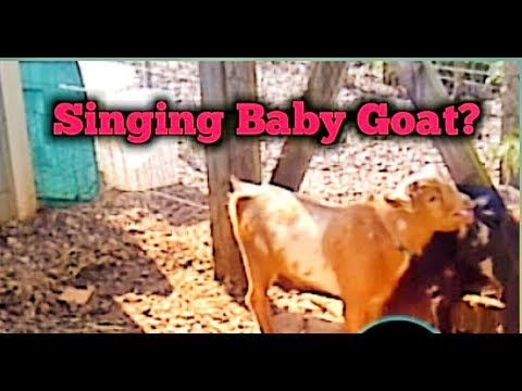 Singing Baby Goat?