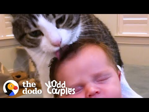 Cat Doesn't Want Anyone to See Her Soft Side   The Dodo Odd Couples