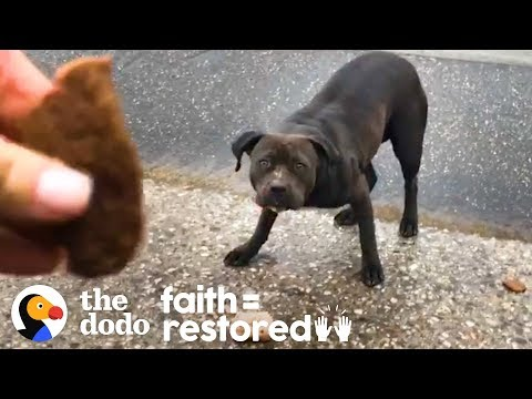 Woman Tries to Rescue a Stray Pittie Every Day for 3 Weeks   The Dodo Faith = Restored