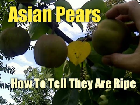 Asian Pears - How to Tell They Are Ripe